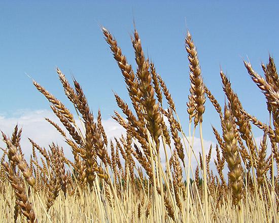 ナンブ小麦