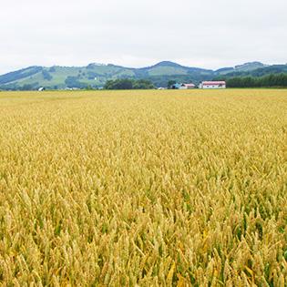 キタノカオリの畑